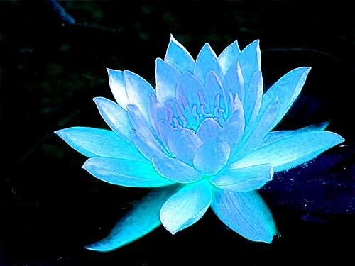 get-edited-image голубая лилия (500x375, 74Kb)