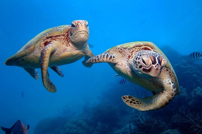 turtles_Great_Barrier_Reef_protofoto.ru_middle7 (700x464, 193Kb)