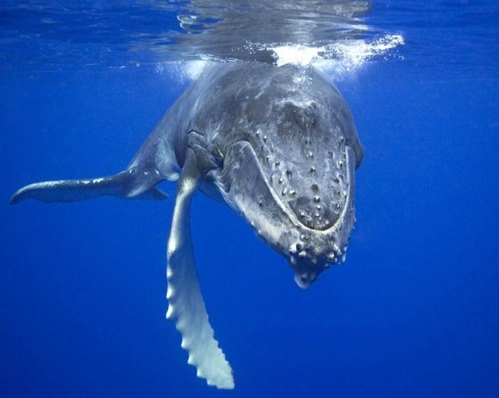 одинокий кит фото 1 (700x559, 212Kb)