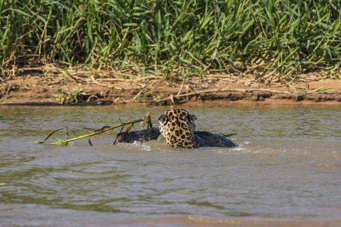 Ягуар и кайман: смертельная битва двух кровожадных тропических монстров