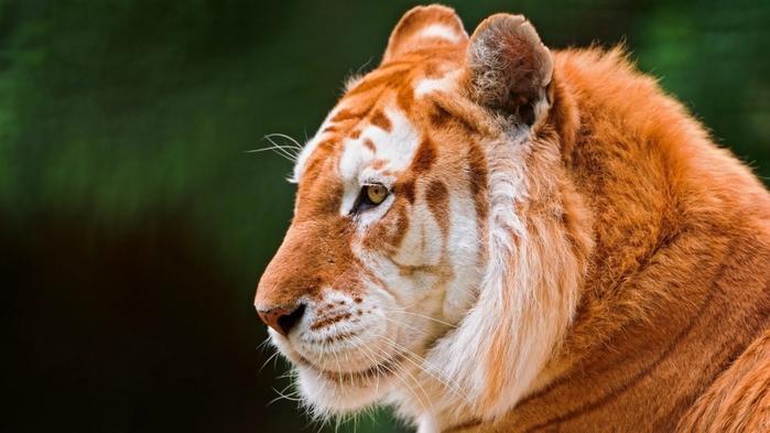 Золотой тигр (9 фото) - SuperCoolPics