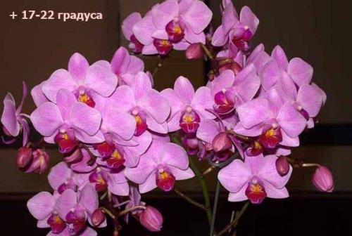 temperatura-falenopsis (500x336, 45Kb)