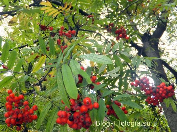 Красные ягоды рябины/3241858_rjabina01 (600x450, 284Kb)