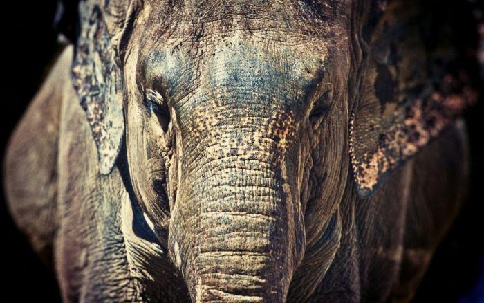elephant_39 (700x438, 272Kb)