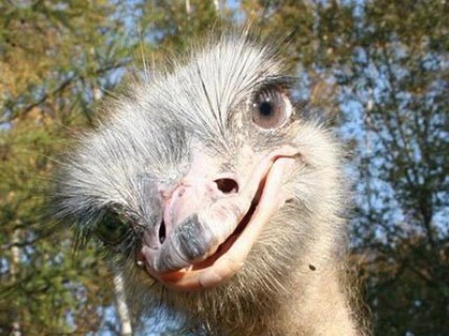 страус 11 (640x480, 256Kb)