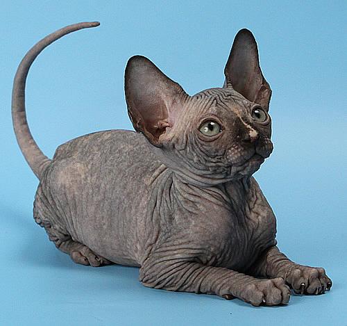 sphynx_kittens_baby_rah11 (500x469, 97Kb)