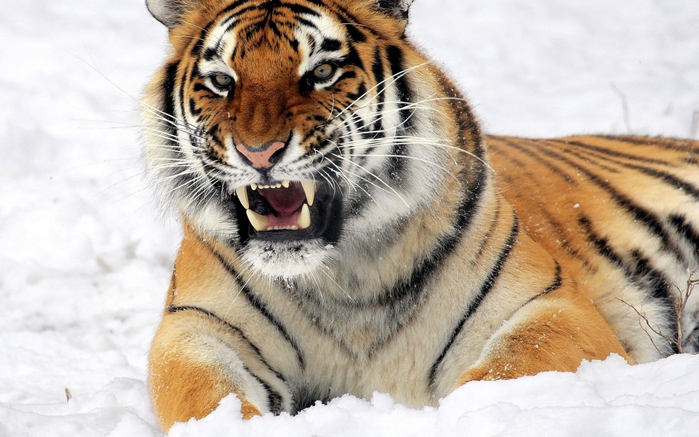 5174086_tigr_amurskiy_tigr_agressiya_oskal_sneg_ohota_2560x1600 (700x437, 244Kb)