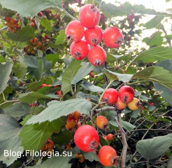 Красные ягоды на деревьях/3241858_osen011 (600x586, 277Kb)