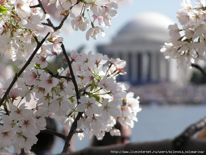 вашJeffersonCherryBlossoms (700x525, 269Kb)