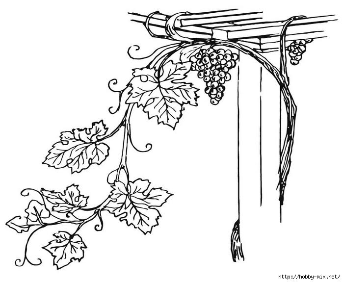 grapevine-15710 (700x575, 160Kb)