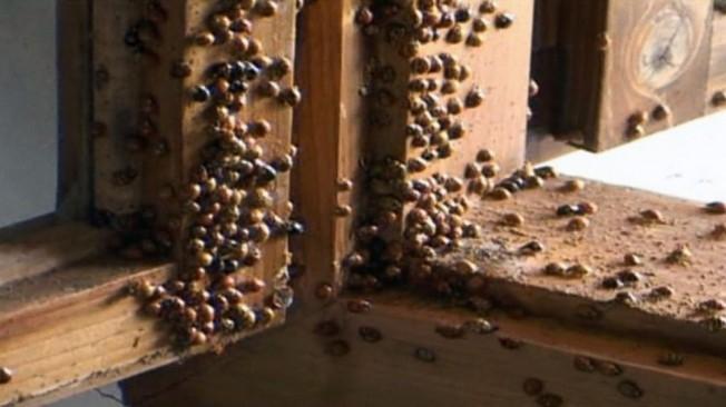 Ladybugs-Romania-Lipova-2-FF.md_-652x366 (652x366, 123Kb)