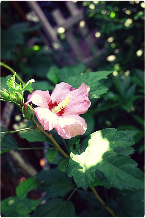 гибискус садовый (465x700, 78Kb)