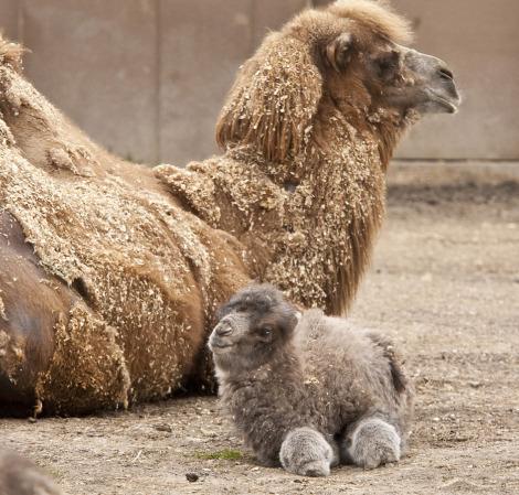 верблюды (470x449, 236Kb)