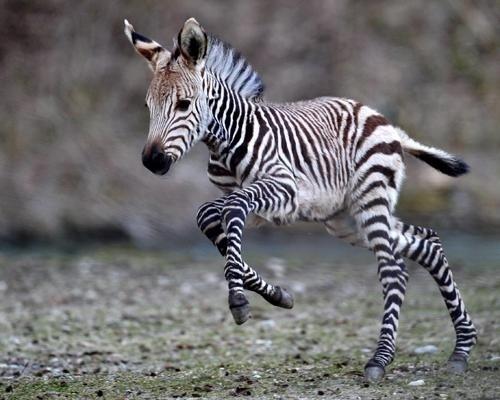 зебра (500x400, 140Kb)