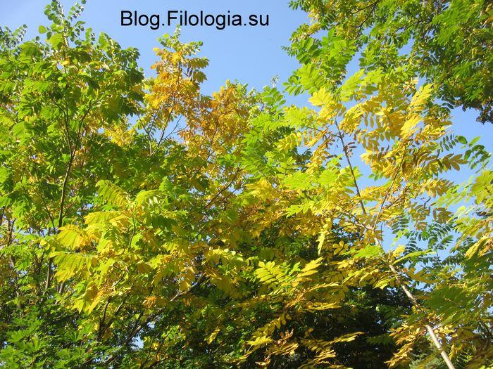 Макушки деревьв с пожелтевшими листьями  на фоне неба (700x525, 135Kb)
