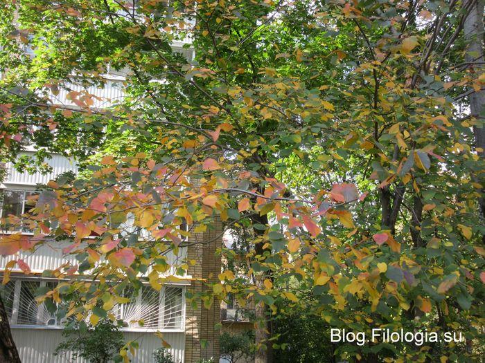 Дерево с желто-багряными листьями на фоне здания. (700x525, 124Kb)
