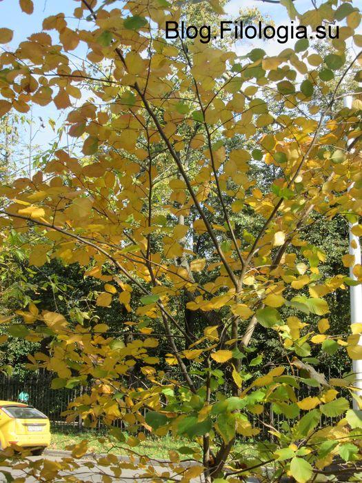 Красивые желтые листья на невысоком дереве. (525x700, 120Kb)