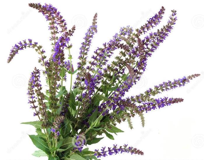 fiore-viola-della-salvia-del-prato-14884865 (700x550, 246Kb)