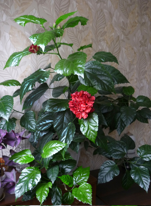 Китайская роза (513x700, 459Kb)