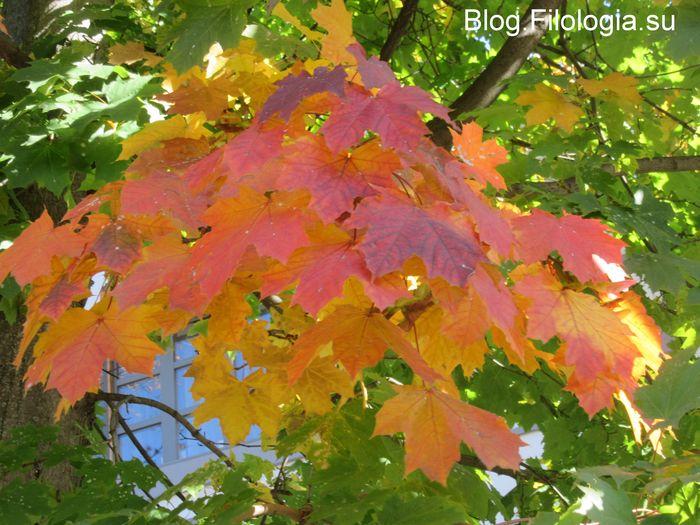 Осень. Ярко-красные листья клена.(700x525, 80Kb)