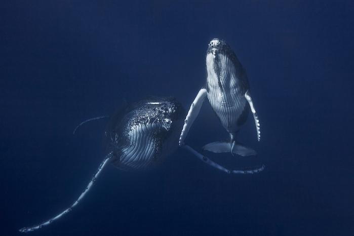 горбатые киты фото Габи Баратью 3 (700x466, 156Kb)