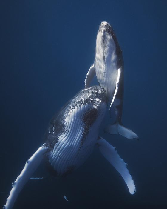 горбатые киты фото Габи Баратью 5 (560x700, 269Kb)