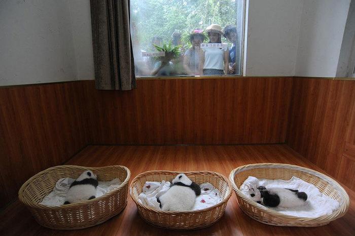 маленькие панды фото 2 (700x466, 311Kb)