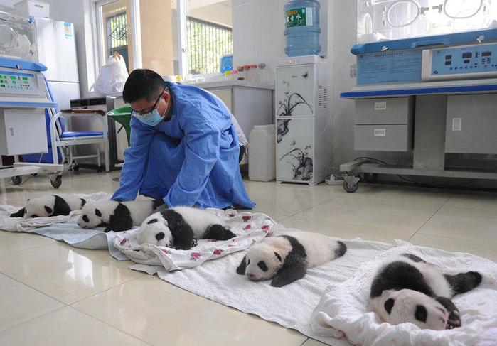 маленькие панды фото 6 (700x487, 341Kb)