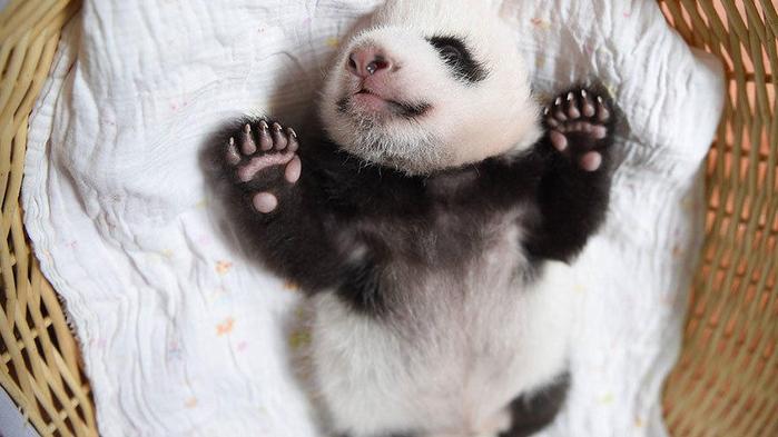 маленькие панды фото 8 (700x393, 258Kb)