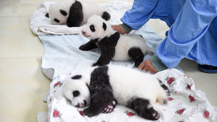 маленькие панды фото 10 (700x393, 252Kb)