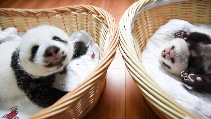 маленькие панды фото 12 (700x393, 306Kb)