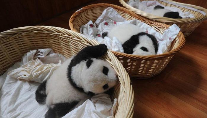 маленькие панды фото 15 (700x397, 282Kb)