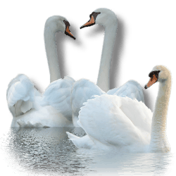4877129_Swan_by_MerlinWebDesigner (250x250, 28Kb)