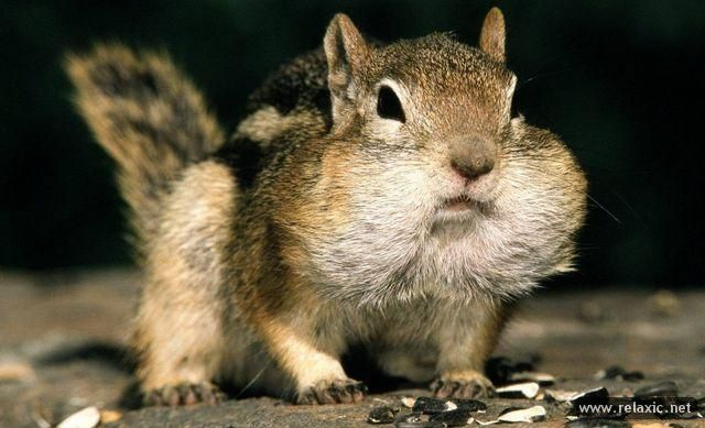 chipmunk (640x389, 45Kb)