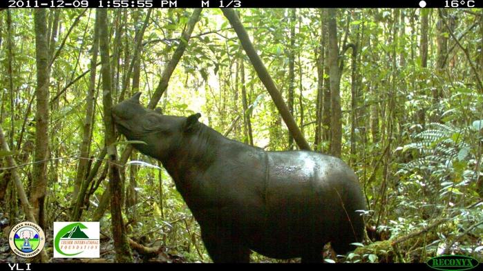 Sumatran-Rhinoceros-photographed-in-Gunung-Leuser-National-Park-inside-Leuser-Landscape-Leuser-International-Foundation-and-the-Gunung-Leuser-National-Park1 (700x393, 245Kb)