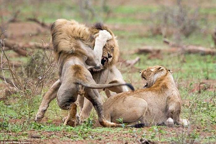 дикие львы дерутся фото 1 (700x466, 360Kb)