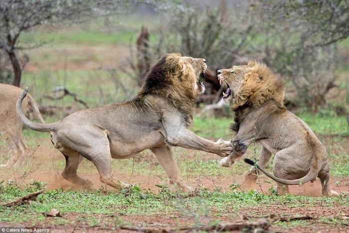 дикие львы дерутся фото 7 (700x466, 352Kb)