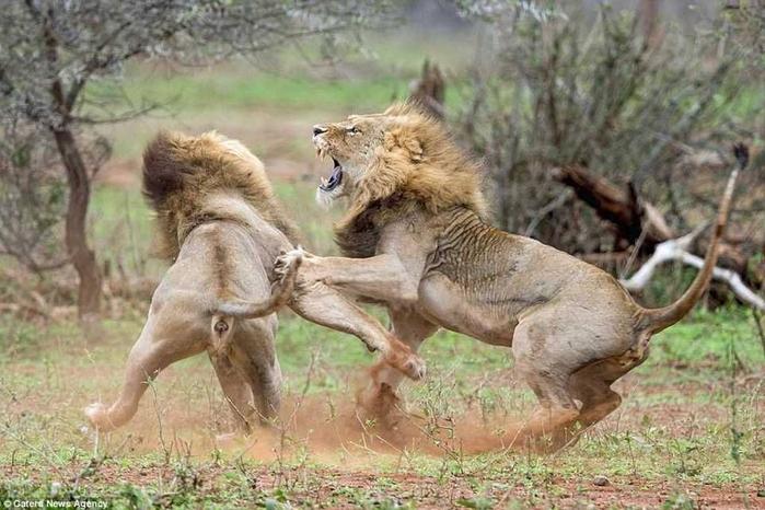 дикие львы дерутся фото 8 (700x466, 350Kb)