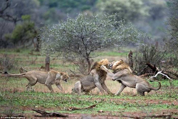 дикие львы дерутся фото 10 (700x466, 348Kb)