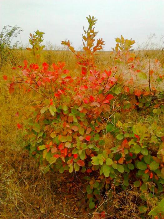 Баграный октябрь в херсонской степи (525x700, 504Kb)