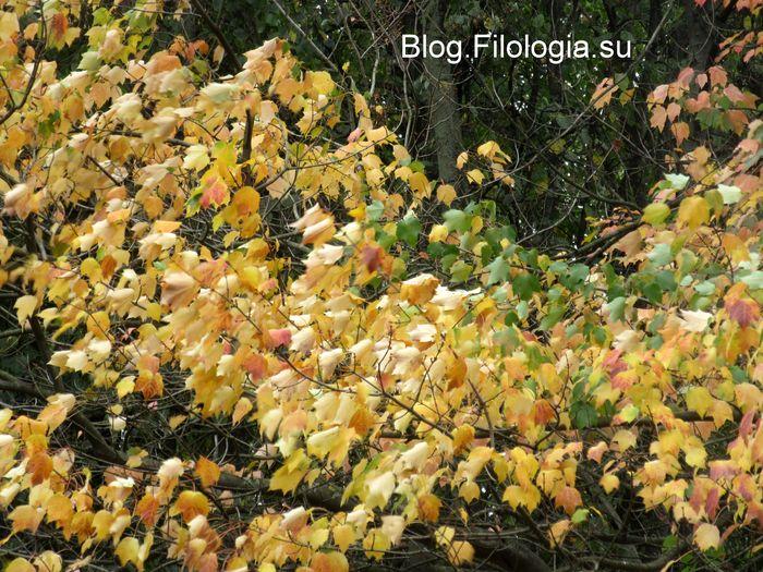 Густая желтая листва на деревьях в парке (700x525, 115Kb)