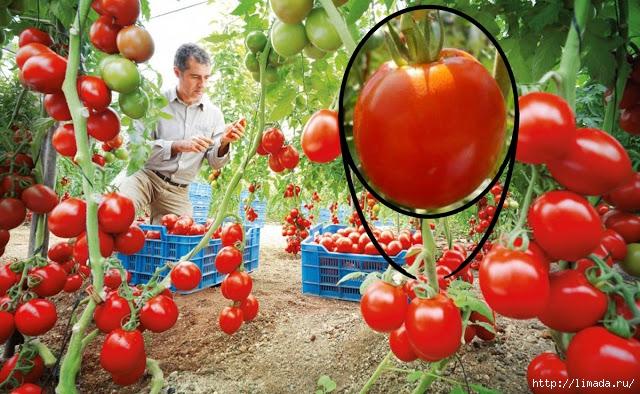 tomates (640x394, 267Kb)