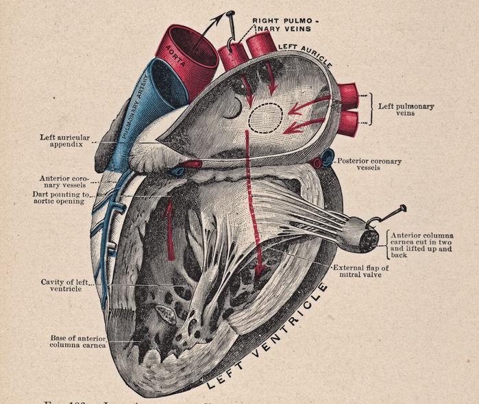 Малоизвестные факты о сердце