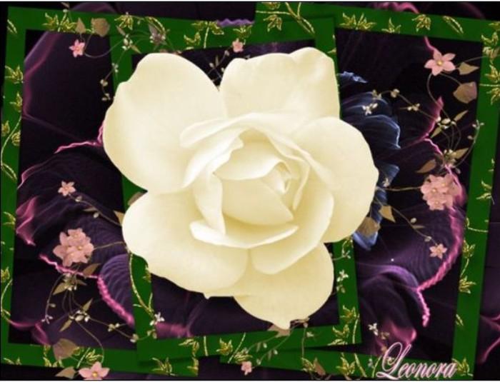 Baltoji roze (700x535, 82Kb)