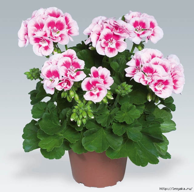 3925073_Pelargonium_Zonale_pac_Flower_Fairy_White_Splash (640x632, 182Kb)