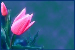 Без-имени-2.jpg-нежные-тюльпаны (300x200, 8Kb)