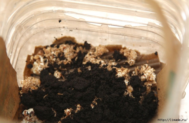 grow-mushrooms-on-coffee-grounds-apieceofrainbowblog-18 (650x424, 150Kb)