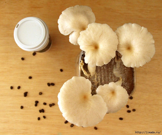 grow-mushrooms-on-coffee-grounds-apieceofrainbowblog-31 (650x545, 183Kb)