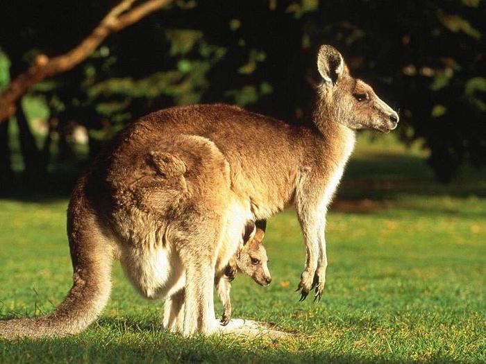 Рыжий-кенгуру_Red-Kangaroo-2 (700x525, 283Kb)