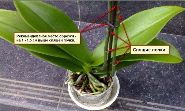 обрезка орхидеи (604x362, 213Kb)